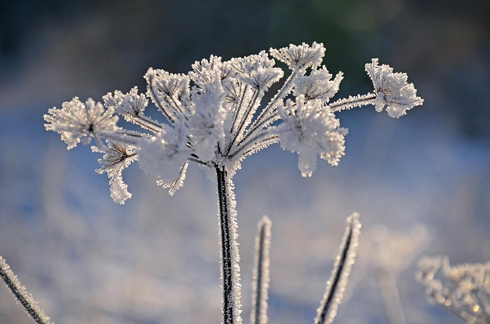 Frosted plant
