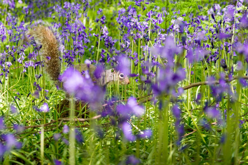 Squirrel in bluebells