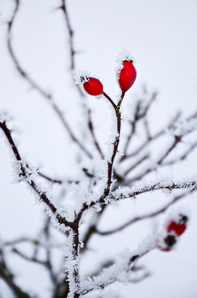 Frosted Rosehip
