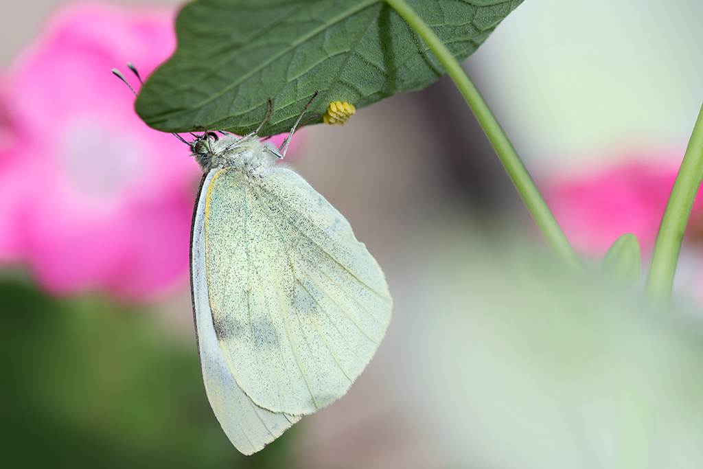 cabbage white butterfly laying eggs