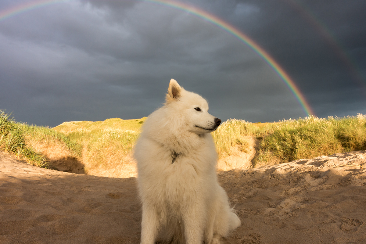 Samoyed under rainbow