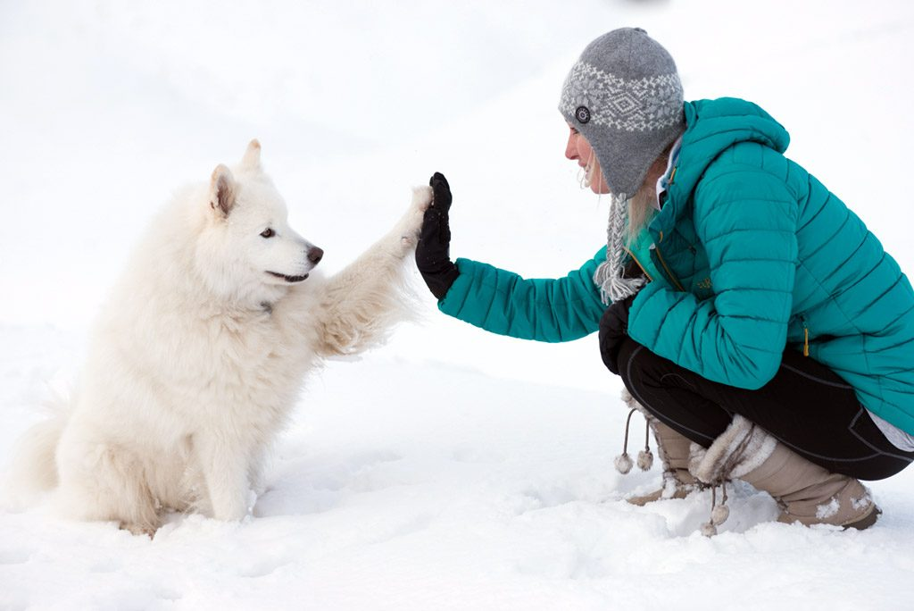 Samoyed dog & woman in snow