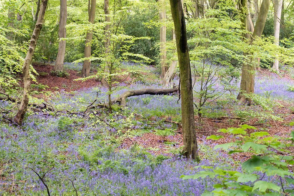 Bluebells in Durham woodland